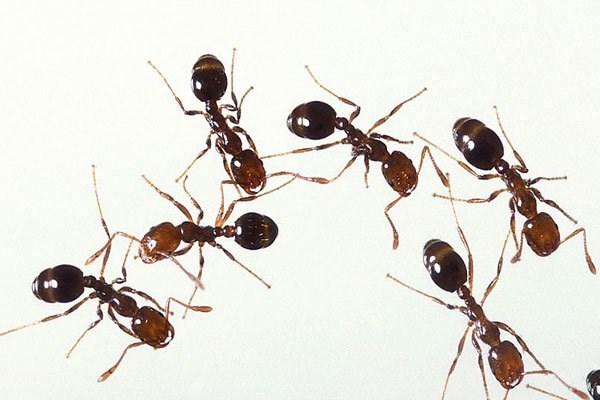 ✅ کشف مورچه انتحاری در جنوب شرقی آسیا