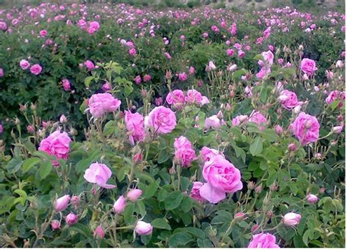 ✅ همه چیز در مورد کاشت، داشت و برداشت گل محمدی (طرح توجیهی)