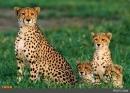 سه قلاده یوزپلنگ در شاهرود مشاهده شد