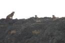 ✅ تصویر ۳قلاده یوزپلنگ در پارک ملی توران شاهرود ثبت شد
